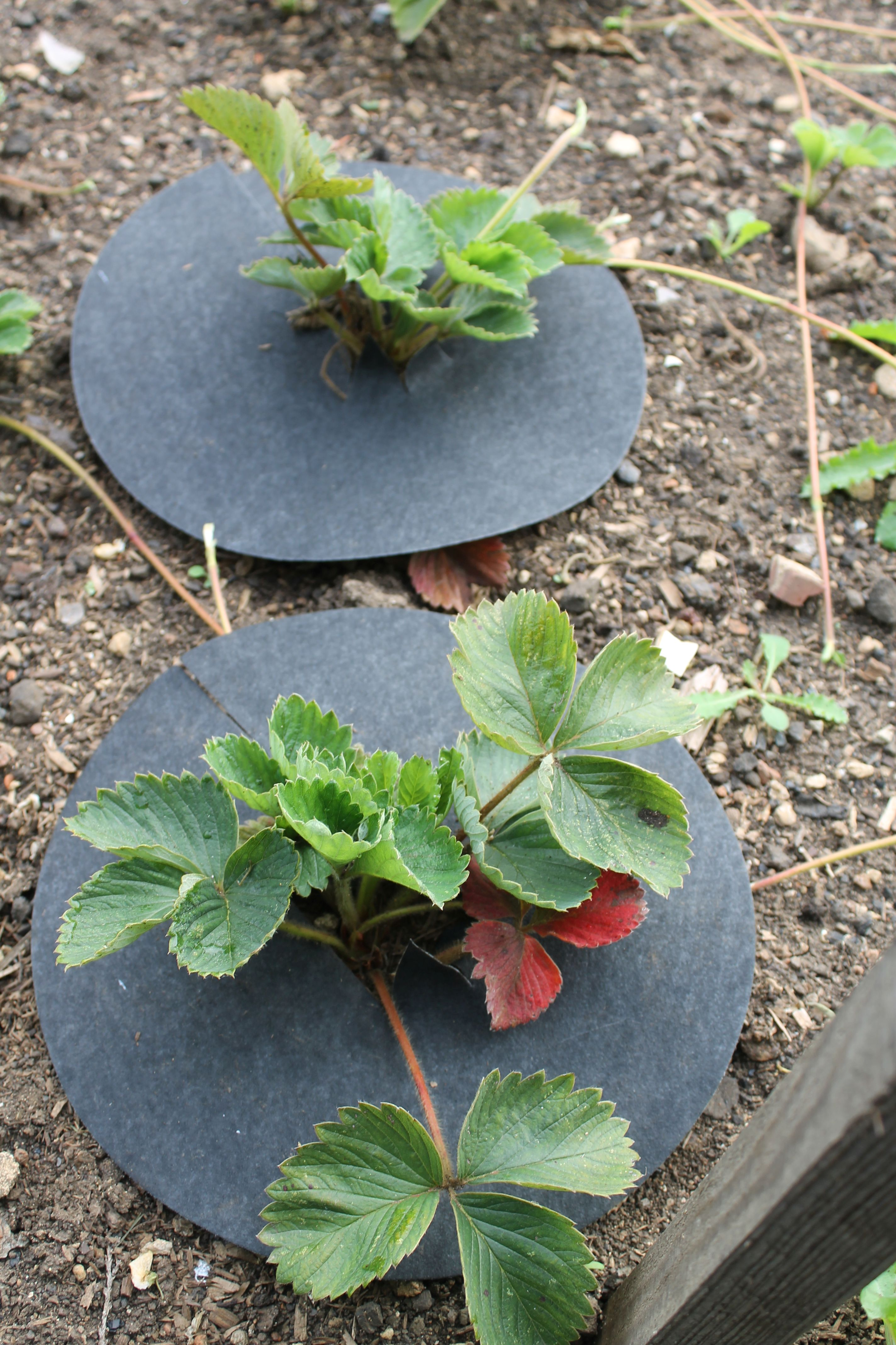 How to Grow Strawberries in the UK