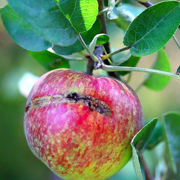 Apple Sawfly