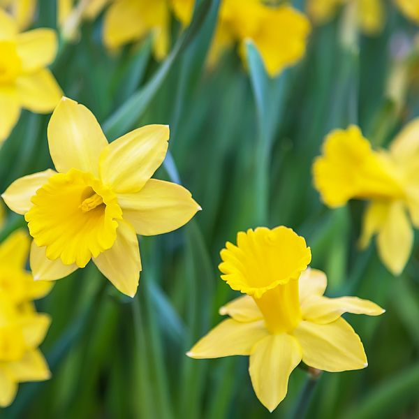 Planting Bulbs In The Garden, When, How and Where