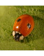 Adult Ladybirds (pk 25)