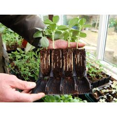 sweet-pea-root-trainers