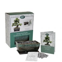 Grow Your Own Bonsai Set - Stone Pine