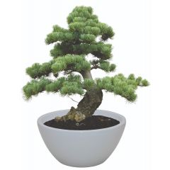 Indoor Bonsai Grow Kit Jerusalem Pine