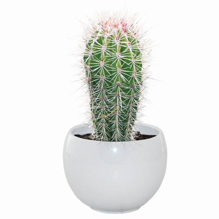 Mexican Giant Cactus Grow Set