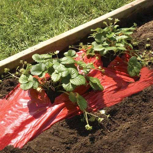 Red Strawberry/Tomato Mulch
