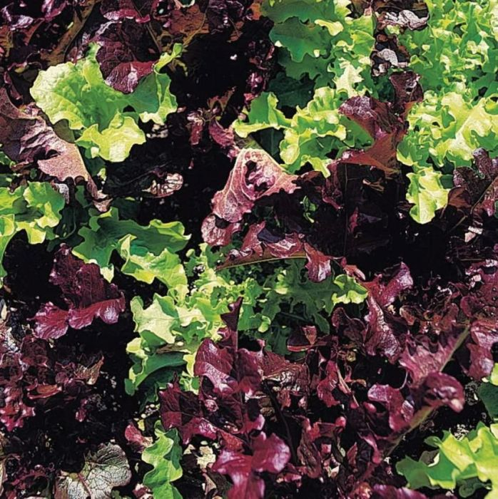Organic Lettuce Seed - Red & Green Salad Bowl Mixed